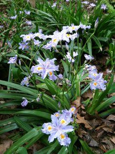 Neomarica Candida Fl Iris Walking Iris Plants Iris