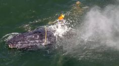 Total team effort to rescue entangled humpback whale in California