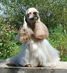 I am Beautiful and I know it. Cocker Spaniel