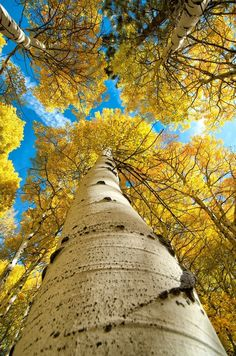 A1 Pictures: Autumn aspens, Eastern Sierra, CA