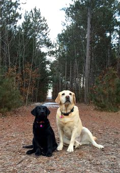 My very own lovable Labradors!!!