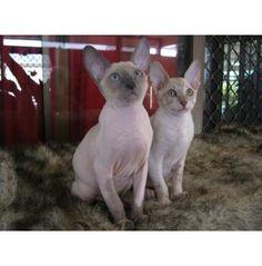 Vixanne - Cornish Rex Cat Breeder - Brisbane, QLD - Vixanne Cornish Rex Kittens