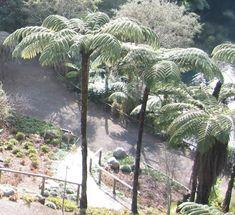Cyathea dealbata (Ponga New Zealand palm tree) Tree Fern, Birth And Death, Small Trees, Native Plants, Flower Photos, Tea Tree, Ferns, Dried Flowers, Green Leaves