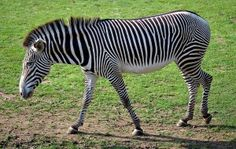 FACTS ABOUT ZEBRAS FOR KIDS
