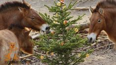 Pferde naschen vom Weihnachtsbaum
