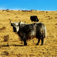 This imposing animal produces incredibly fine and soft wool. Read more on www.khunu.com #jointheclan #yakwool #naturesbest