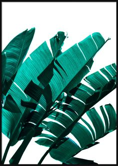 Emerald Banana Leaves Portrait Tropical Posters, Banana Leaves, Plant Leaves, Emerald, Portrait, Beach, Plants, Headshot Photography, The Beach