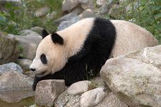 Visit Tiergarten Schonnbrunn Zoo in Vienna, Austria. The oldest zoo in the world. Travel Activities, Fun Activities, Vienna Zoo, Tiergarten Schönbrunn, We Bear, Finding Peace, Panda Bear, Travel Tips, Travel Destinations