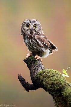 Owls aren't usually cute, but this one kinda is! #cute #animals