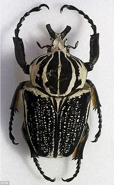 Goliath beetles belong to the scarab family and are one of the largest insects on Earth, growing up to 4.5 inches long and weighing as much as 3.5 ounces.