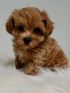 Designer and mix puppies, morkies, maltipoos, red maltipoos, Yorkshire terrier, Shih Tzu, Havanese, Toy and teacup poodles, French Bull Dogs, Maltipoo, Cockapoo, Shih poo, Maltshi Maltzu, Maltese, shih tzu, Shichon, Bichon, Yorkie poo