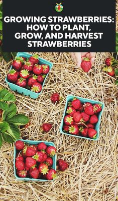 Growing Strawberries: How to Plant, Grow, and Harvest Strawberries