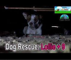 Abandoned, pregnant, hungry, and scared of people, Lollie needed urgent help before giving birth. Eldad Hagar of Hope For Paws stepped up after Lisa Arturo asked for help in saving a dog.