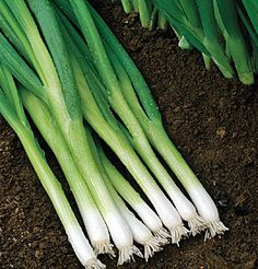 David's Garden Seeds Bunching Onion Evergreen Hardy White (White) 500 Organic Seeds