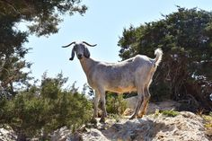 What better way to recuperate after the Legion Run than a hike on the Akamas Peninsula? Yes, mental, particularly since my muscles hurt even to get. Malta, Cyprus Island, Paphos, Island Nations, Goats, Hiking, Horses, Muscles, Beach