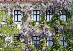 I see the darker window frames perfectly balancing the mass of the wisteria and complimenting the color of its flowers. Hippie Garden, Balkon Design, Urban Nature, Window Frames, Wisteria, House Front, Vines, Sweet Home, Patio