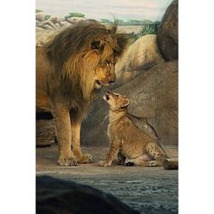 Lions - Dad and Son | Flickr - Photo Sharing! | Pics for Polyvore |... ❤ liked on Polyvore featuring backgrounds