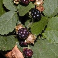Blackberry, Plum, Vegetables, Fruit, Food, Fitness, Syrup, Essen, Blackberries
