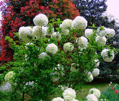 Snowball bush--Viburnum I saw one of these @ Atlanta Botanical Gardens. I swore I would have one. They are mesmerizing in full bloom.