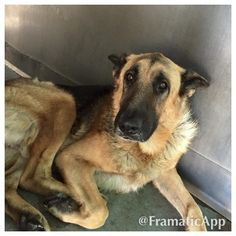 Disturbingly thin German shepherd waits to be rescued at animal control