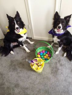 2 Border Collies Easter
