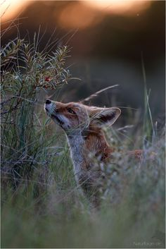 Red Fox by Peter Lindel