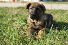Don, East German Shepherd puppy