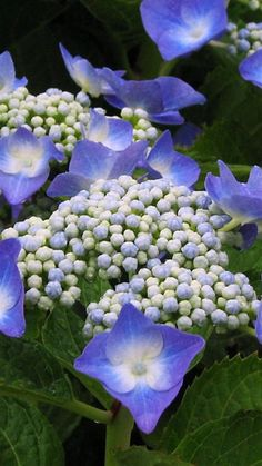 Blue lacecap hydrangea look just like the one Connie gave me years ago for my new home!  love it!
