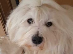 Image result for pomeranian coton tulear mix Pomeranian, Doggies, Animals, Image, Little Puppies, Animales, Animaux, Pet Dogs, Animal