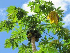 Papaya Tree, Herbal Plants, Mindanao, All Plants, Fruit Trees, Philippines, Herbalism, Flora, Garden