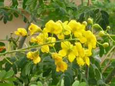 Yellow flowering bush with round leaves – native Mexican plants Yellow Flowers, Plants, Yellow Flowering Bush, Drought Tolerant Shrubs, Xeriscape Plants, Tropical Flowers, Shrubs, Flowers, Tree With Yellow Flowers