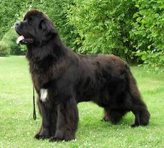 Newfoundland dog   ... newfoundland dog newfoundland dog is prone to hip dysplasia a