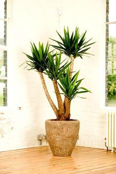 Palo de brasil indoor plant decoraciones pinterest for Dekor von zierpflanzen