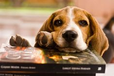 Doesn't matter what I am reading my beagle will lay on it.