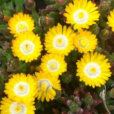 43 Best Mellow Yellow Yellow Plants Images Yellow Plants Yellow