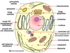 Basic structure of a eukaryotic cell.  Eukaryotes (plants, animals and fungi) have cells that contain structures such as the Endoplasmic Reticulum (ER), Golgi Apparatus, Nucleus, Lysosomes and Mitochondria.