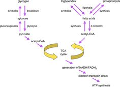 lipid synthesis pathway | Figure 3. Overview of fat and sugar synthesis and breakdown pathways.