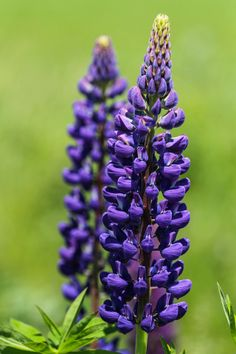 Purple Lupins Just like in my favorite book as a child...