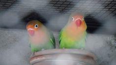 Aaj Hi Fischer's Lovebirds Ka Kamyab Business Shuru Karen