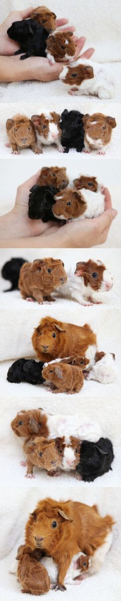 four new baby guinea pigs born overnight last night. (two months after those: some similar some new colors the last picture shows the universal method of good animal parenting: sitting on the little ones and pretending like they arent really there.