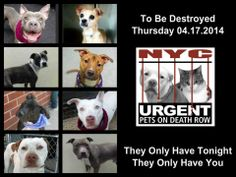 TO BE DESTROYED - 04/17/14 PITTIES ARE IN DANGER AGAIN. ALL THESE DOGS COUNT ON US!!! LET'S NOT LET THEM DOWN!!! PLEASE OPEN YOUR HEARTS AND PLEDGE, TAKE THEM HOME, BUT BE QUICK AS TIME IS TICKING AWAY. THE LIST IS VERY LONG AGAIN AND WE WE HAVE SOLITTLE TIME SO BE QUICK WHEN MAKING UP YOUR UP.   https://www.facebook.com/media/set/?set=a.611290788883804.1073741851.152876678058553&type=3