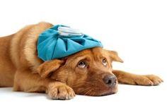 Remèdes naturels pour faire baisser la fièvre de mon chien