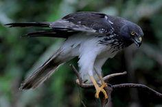 Image issue du site Web http://www.europeenaqutiaine.eu/images/oiseaux/papangue/papangue.jpg