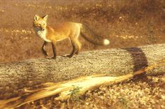fox in fall Canadian Artists, Fox, Creatures, Centre, Gallery, Trotter, Artwork, Painting, Animals