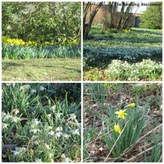 daffodils and snowdrops