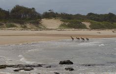 Morning paddle for the roos at Brooms Head, NSW ~ Photo by Steve Axford