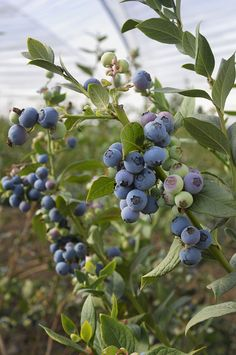 Rabbiteye Blueberry at Backyard Fruit