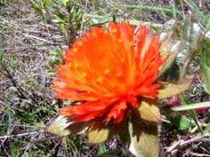 Cerrado Brasileiro - Pára-tudo flor do cerrado de rara beleza