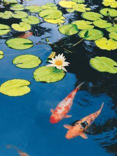 Maureen Love Solid-Faced Canvas Print Wall Art Print entitled Koi Pond II, None Koi Fish Pond, Fish Ponds, Betta Fish, Koi Art, Fish Art, Koi Painting, Carpe, Japanese Koi, Guache