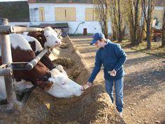 Cow feeding.